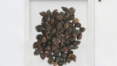 Photo of The Benefits of Using Sebesten Plum – لسوڑیاں Supplements