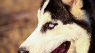 Keep Your Husky Cool During Summer