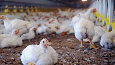 Chicken Poultry Farming